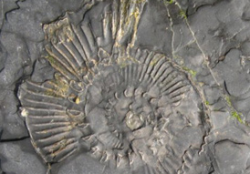 A fossil from the Jurassic Coast